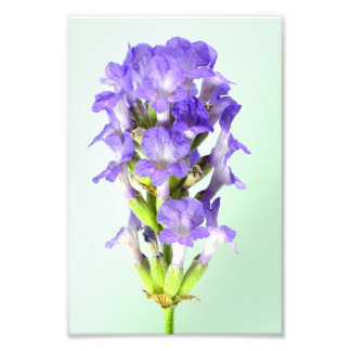 English Lavender Flower Photographic Print
