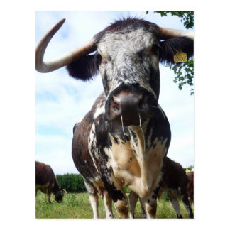 English Longhorn Cattle Cow Postcard