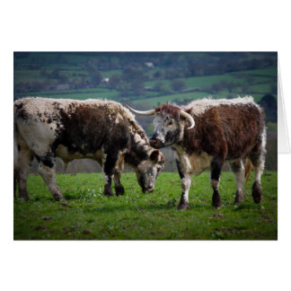 English Longhorn cows greetings card, blank inside Card