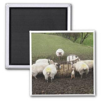 English Sheep Refrigerator Magnet