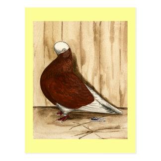 English Shortfaced Bald Pigeon Postcard