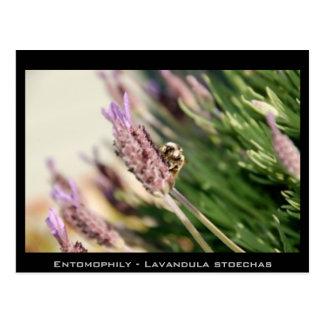 Entomophily - Lavandula stoechas Postcard