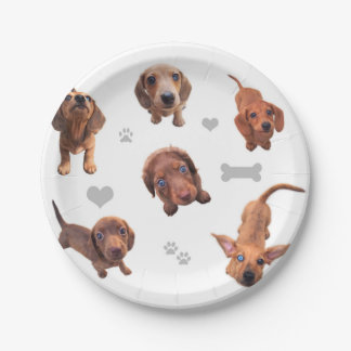 Eridox red chocolate dachshund dapple puppies paper plate