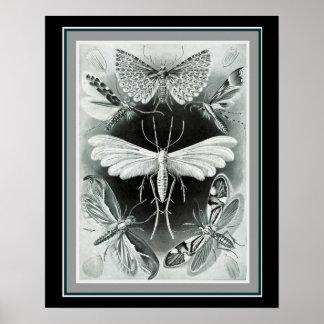 "Ernst Haeckel 16 x 20 Print ""Tineida"""