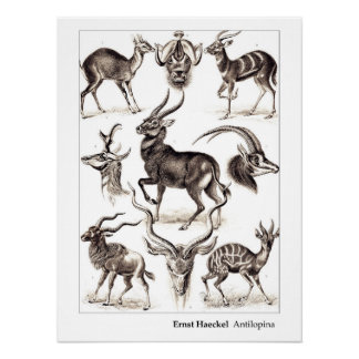Ernst Haeckel Antilopina with Border Poster