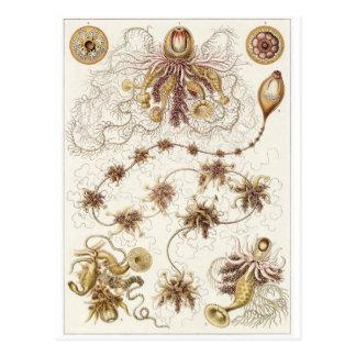 Ernst Haeckel Art Postcard: Siphonophorae Postcard