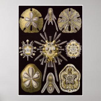 Ernst Haeckel Art Print: Echinidea Poster