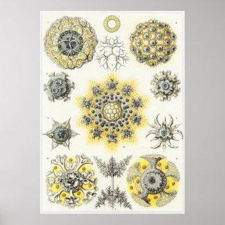 Ernst Haeckel Art Print: Polycyttaria Poster