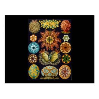 Ernst Haeckel Ascidiae Postcard