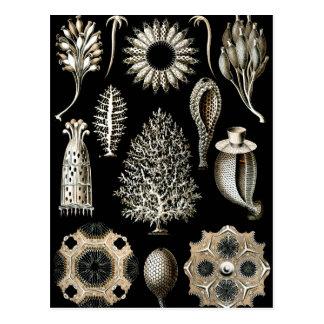 Ernst Haeckel Calcispongiae Postcard