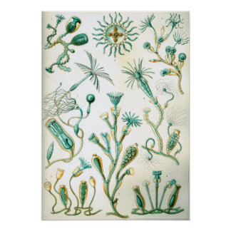 Ernst Haeckel Campanariae Poster