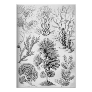 Ernst Haeckel Fucoideae weeds! Poster