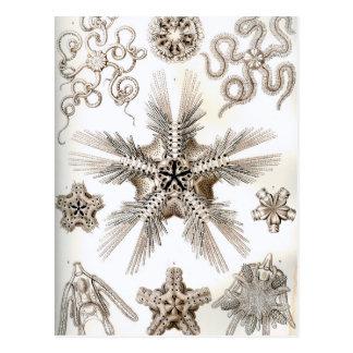 Ernst Haeckel Ophiodea brittle Stars Postcard