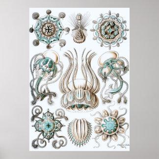 Ernst Haeckel Poster ~ Narcomedusae