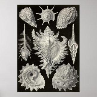 Ernst Haeckel - Prosobranchia Poster