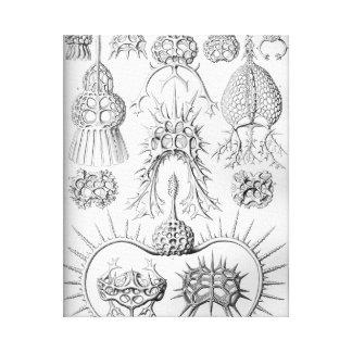 Ernst Haeckel  Spyroidea Sea Creatures Canvas Print
