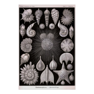 Ernst Haeckel - Thalamophora Poster