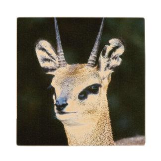 Ethiopia, Klipspringer looking away Maple Wood Coaster