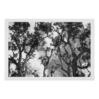 Eucalyptus Treetops Poster