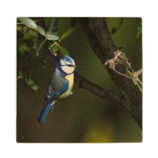 Eurasian bluet tit, cyanistes caeruleus wood coaster
