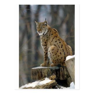 Eurasian Lynx (Lynx lynx) 3 Postcard