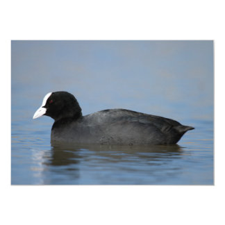 Eurasian or common coot, fulicula atra, portrait o card