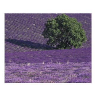 Europe, France, Provence, Sault, Lavender fields Poster