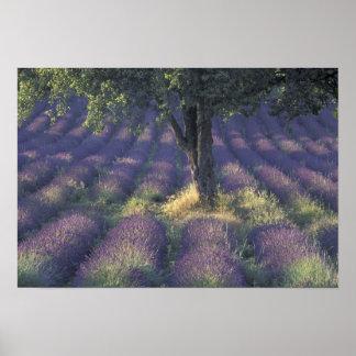 Europe, France, Provence, Sault, Lavender Poster