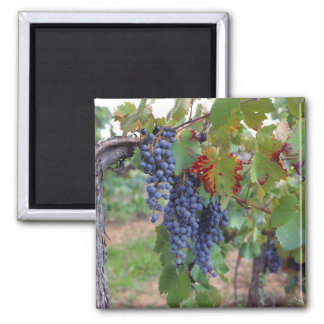 Europe, France, Roussillon. Vineyards, with Refrigerator Magnets