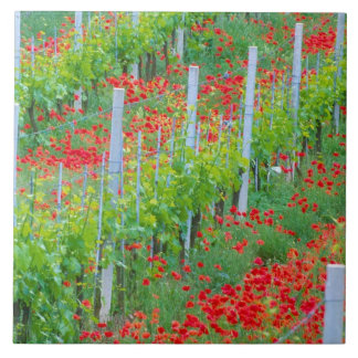 Europe, Italy, Tuscany. Colorful red poppies in Large Square Tile