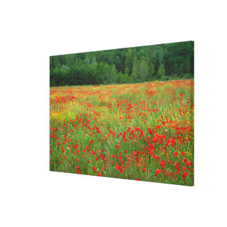 Europe, Italy, Tuscany, red poppies in field. Gallery Wrap Canvas