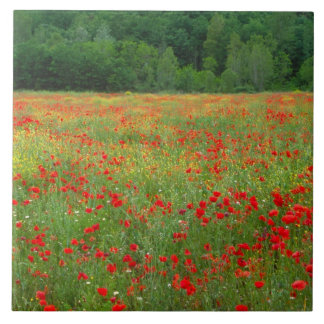 Europe, Italy, Tuscany, red poppies in field. Large Square Tile