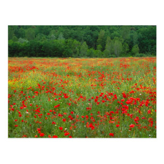 Europe, Italy, Tuscany, red poppies in field. Postcard