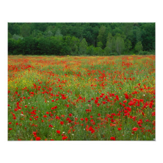 Europe, Italy, Tuscany, red poppies in field. Poster