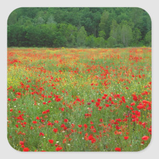 Europe, Italy, Tuscany, red poppies in field. Square Sticker