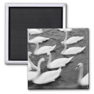 Europe, Lucerne, Switzerland. Swans on the Reuss Fridge Magnets