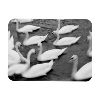 Europe, Lucerne, Switzerland. Swans on the Reuss Rectangular Photo Magnet