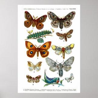 European Butterflies (Plate 13) Poster