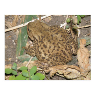 European Common Toad Postcard