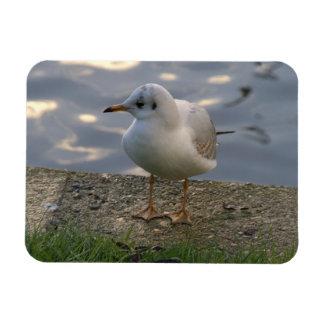 European Herring Gull Flexible Magnets