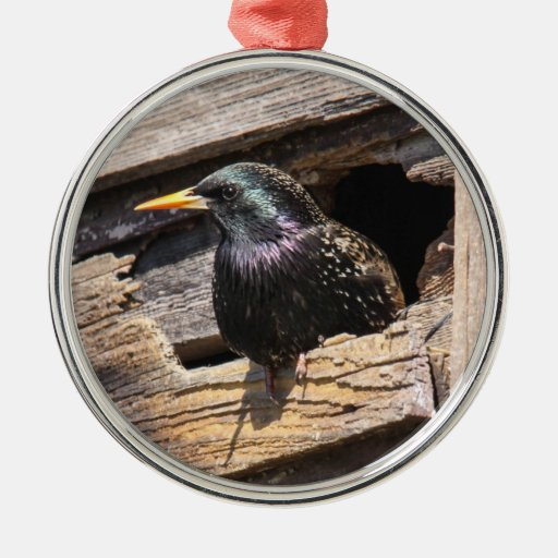 European Starling Christmas Tree Ornaments