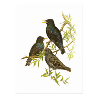 European Starling Postcard