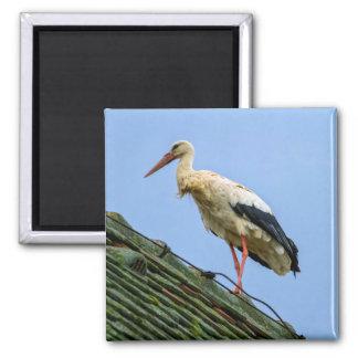 European white stork, ciconia magnet