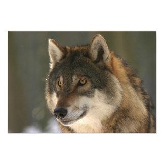 European Wolf Photo Print