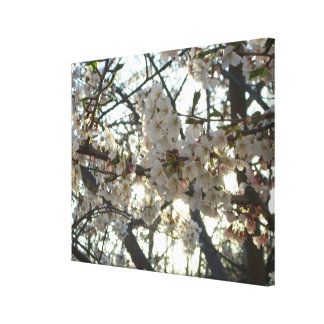 Evening Cherry Blossoms II Flowering Spring Tree Canvas Print