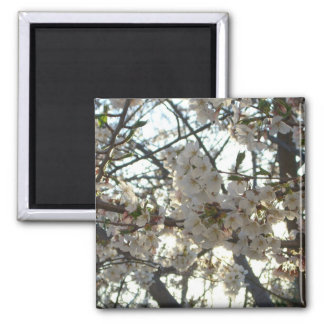Evening Cherry Blossoms II Flowering Spring Tree Square Magnet