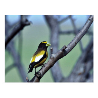 Evening Grosbeak Postcard