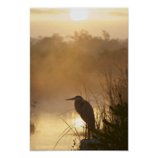 Everglades Great Blue Heron Poster