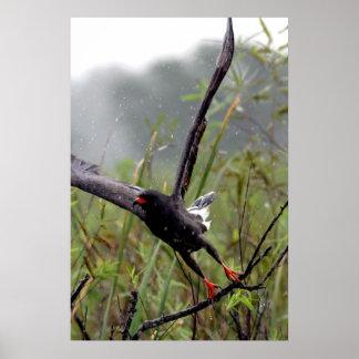 Everglades Snail Kite #1 print
