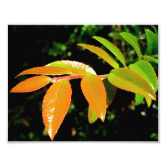 Evergreen Huckleberry Photo Print